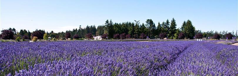 Lavender_Field_In_Sequim_Washington
